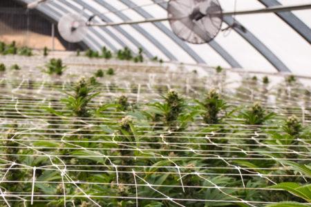 Image for Le marché du cannabis et la santé publique